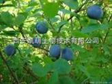 蓝莓提取物/花青素25%